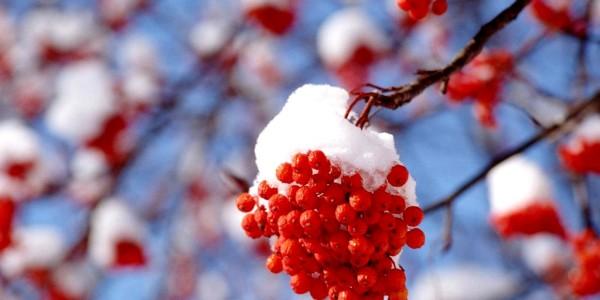 Несет себя Зима рябиной алой