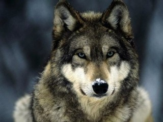 Волчье