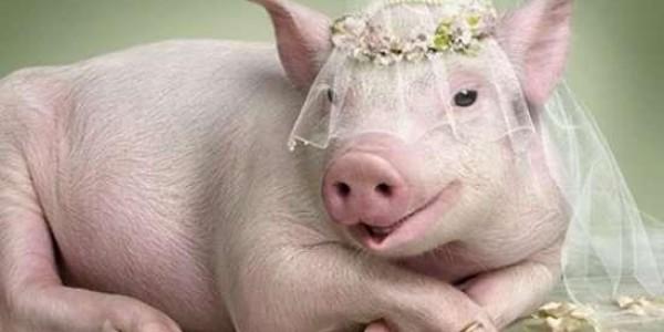 Свинья на свадьбу